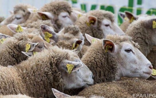 В Ирландии беспилотник помогает фермеру пасти овец (Видео)