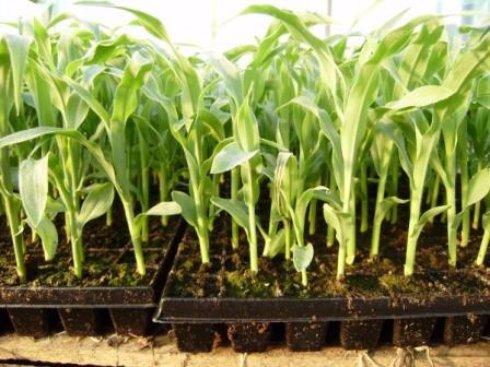 Посев и уход сахарной кукурузы
