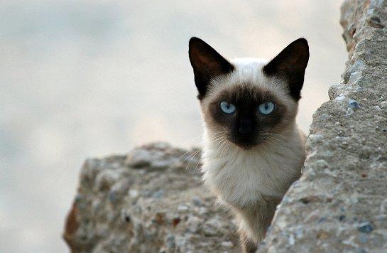 Своенравные сиамские кошки