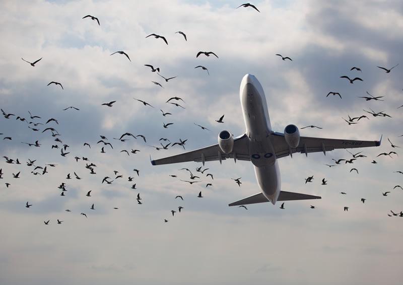 Количество столкновений с птицами во Львове растет